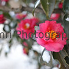 January - Camellias after a snowfall.