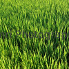 July - Green Blades of Growing Rice. The rainy season continues well in to mid July and fields of growing rice give Japan it's richest greens of the year.