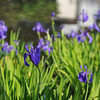 A Few Purple Irises. In the grounds of Nagaoka Tenmangu Shrine, Nagaokakyo city, Kyoto-fu, Japan.