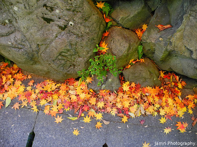 Maple Leaves on the Ground