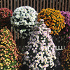 Sculptured Chrysanthemums
