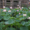 A Lotus Patch