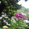 Hydrangeas and the valley beyond.<br /> At Youkoku-ji (a Buddhist Temple) in Nagaokakyo.