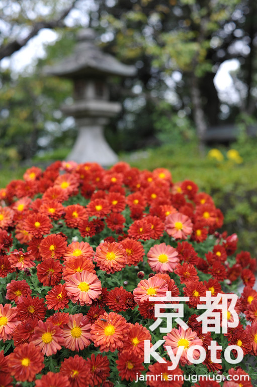 November's Flower is Chrysanthemum