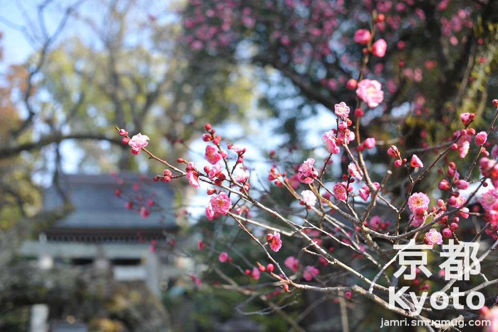 Pink Ume at Kitano Tenmangu Shrine