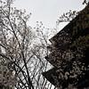 Waning Sakura and Yasaka Pagoda