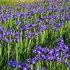 Rows of Irises