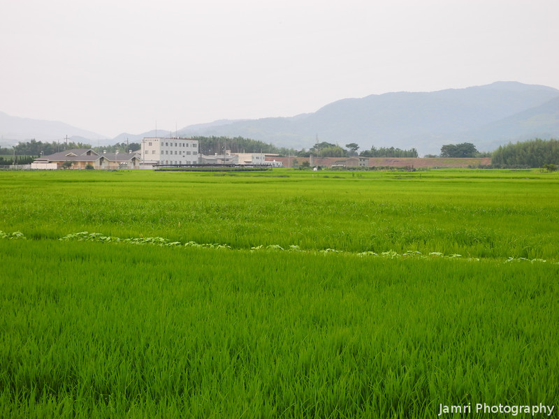 The Green Rice Fields of Mid Summer