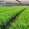 Green Tea Growing