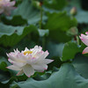 A Pair of Lotuses