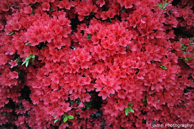 Up close to the Kirishima Azaleas