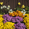 Chrysanthemum Colours