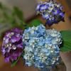 Still life of Cut Hydrangeas.<br /> One way to get rid of the rainy season creativity block!
