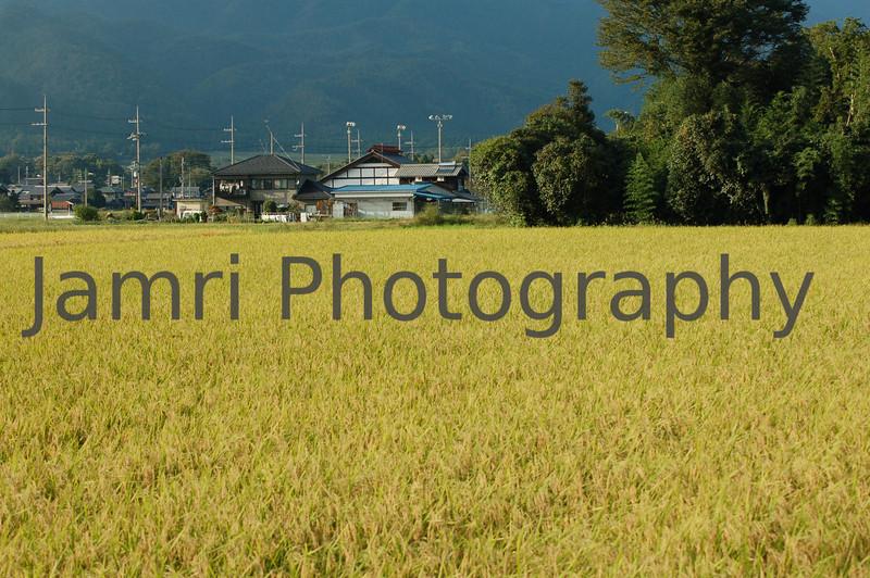 Golden Field, Omi-Imazu, Shiga-ken, Japan