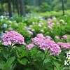 June's Flower is the Hydrangea