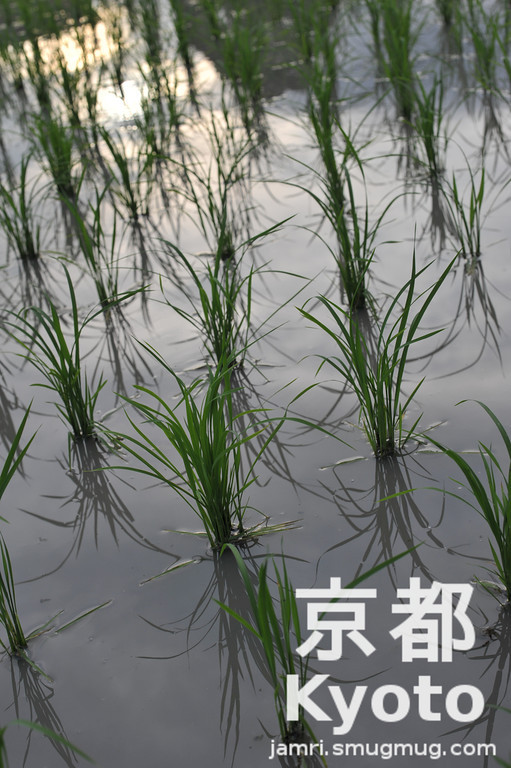 Rice Shoots